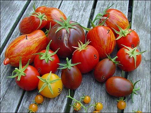 Samenarchiv - Bunte Tomatenernte