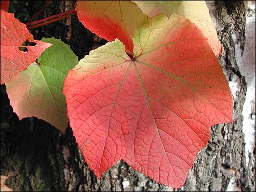 Herbstfärbung - Vitis coignetia - Scharlachrebe