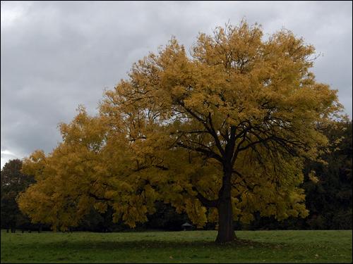 Herbstfärbung - Yggdrasil die Weltenesche